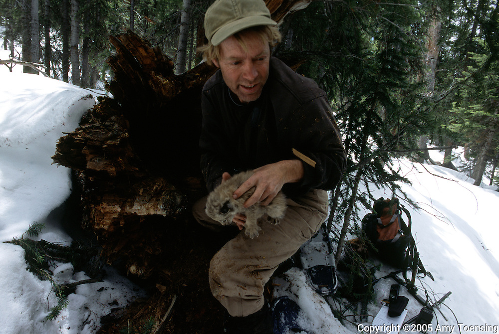 SOUTHERN COLORADO- JUNE 10: A biologist removes a kitten from its den in order to conduct a &quot;work up&quot; June 10, 2005 in Southern Colorado. The standard lynx &quot;work up&quot; includes checking the cat's health and placing a radio collar on the animal. In 1999 the Colorado Division of Wildlife (CDOW) began a lynx reintroduction program, trapping the animals in Canada and bringing them to Colorado. The goal is to re-establish the lynx population in the state, which has been nonexistent since the 1970s, to a viable level where the population that can sustain itself. The program has brought in 204 lynx between 1999 and 2005. There have been 71 known deaths, and 101 kittens born. The program is considered widely as a success, however the program has also instigated controversy protests from animal rights groups and developers. (Photo by Amy Toensing). _________________________________<br /> <br /> For stock or print inquires, please email us at studio@moyer-toensing.com.