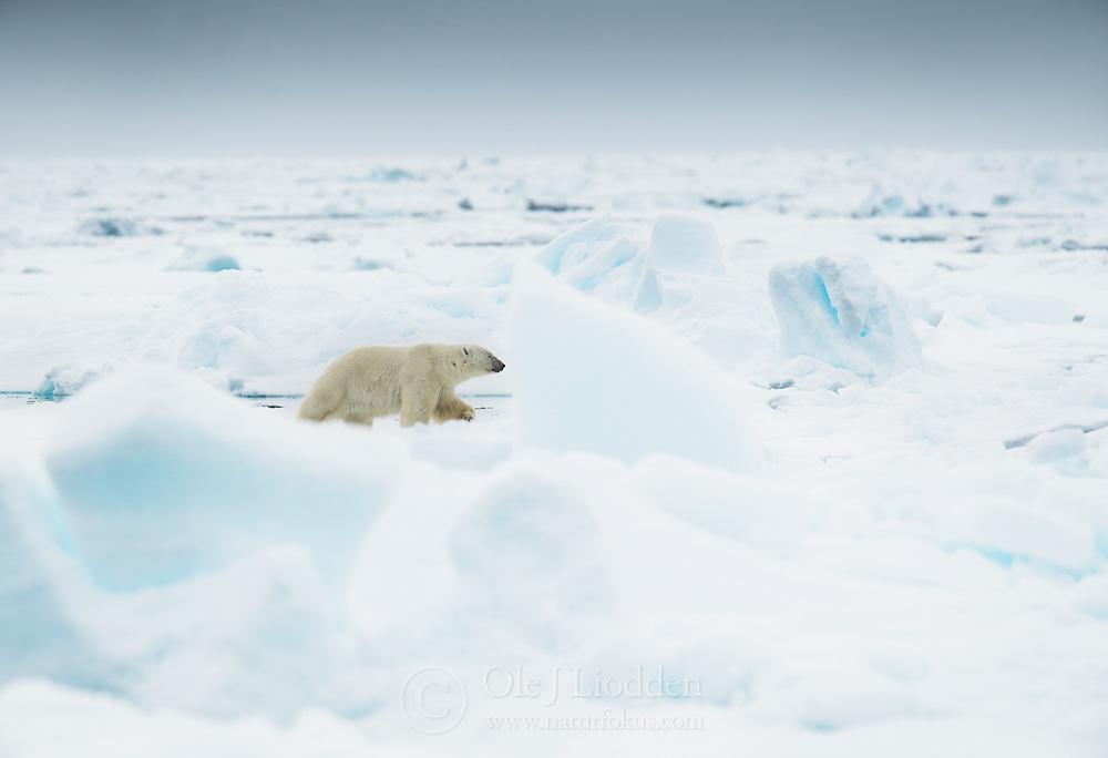 Polar bear (Ursus maritimius) In the drifting ice in Svalbard, Norway