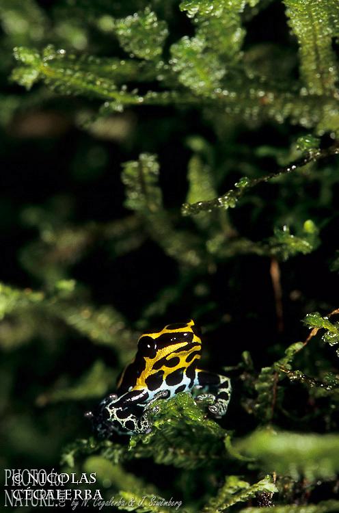 DENDROBATES A VENTRE TACHETE, Dendrobates ventrimaculatus, Guyane Française