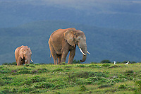 African Elephants feed out in open grasslands, Addo Elephant National Park, Eastern Cape, South Africa