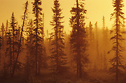 Black spruce trees (Picea mariana) in spruce bog at sunrise<br /> Near Upsala<br /> Ontario<br /> Canada