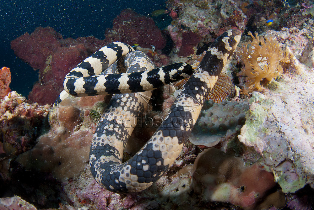 Black headed sea snake, Hydrophis melanocephalus, Two snakes mating, Kapalai, Sabah, Borneo, Malaysia