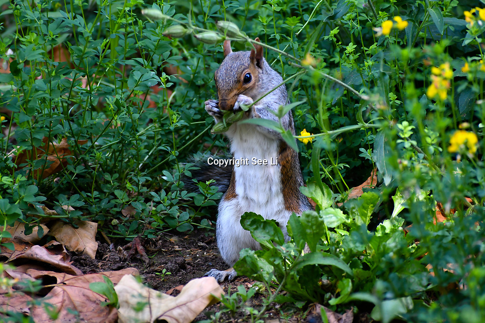 London, UK. 27 June 2019. UK Weather - squirrel at the Hottest week in June 2019 at St James park, London, UK