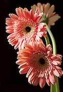 My mother was a great gardener. Of all the flowers she grew I think she was proudest of her Gerbera Daisies. I'm not the gardener she was, but I got my love of flowers from her.