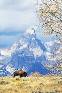 Bison, autumn color, Grand Tetons, Jackson Hole, Wyoming