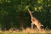 UNITED KINGDOM, London: 13 May 2015 A Fallow Deer makes a reach for it in Richmond Park, London this morning during sunrise. Although it was a cold start to the day, temperatures are set to get up to 20C. Rick Findler  / Story Picture Agency