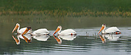 American white pelicans swim together on the Yellowstone River, Yellowstone National Park, WY, © 2005 David A. Ponton