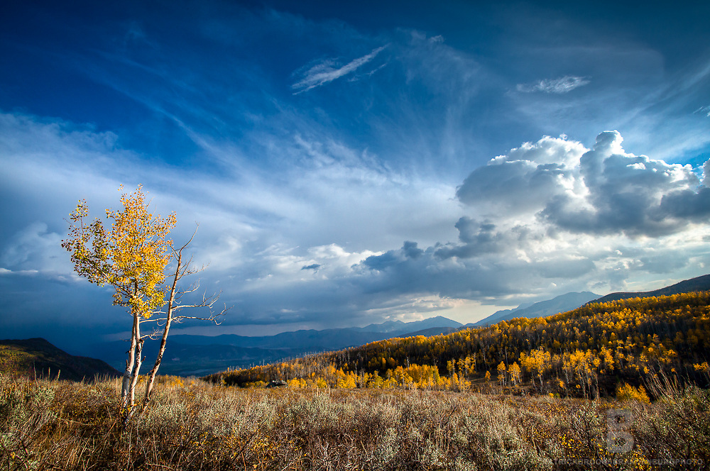 One young golden aspen in the fall set against a forest of aspen trees on the Guardsman Pass in Utah.