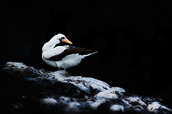 Nazca Booby (Sula granti) with dark background, Galapagos, Equador