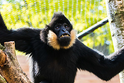 ZSL London Zoo, May 25th 2017.  A gibbon shows its teeth during a photocall to promote ZSL London's newest exhibit, a treehouse style enclosure that will open to the public on Saturday 27th of May. The exhibit is home to duo Jimmy and Yoda, that will take people on a journey high into the Northern white-cheeked gibbon's (Nomascus leucogenys) treetop habitat, where they'll be able to watch the pair swing gracefully through a maze of branches and ropes.