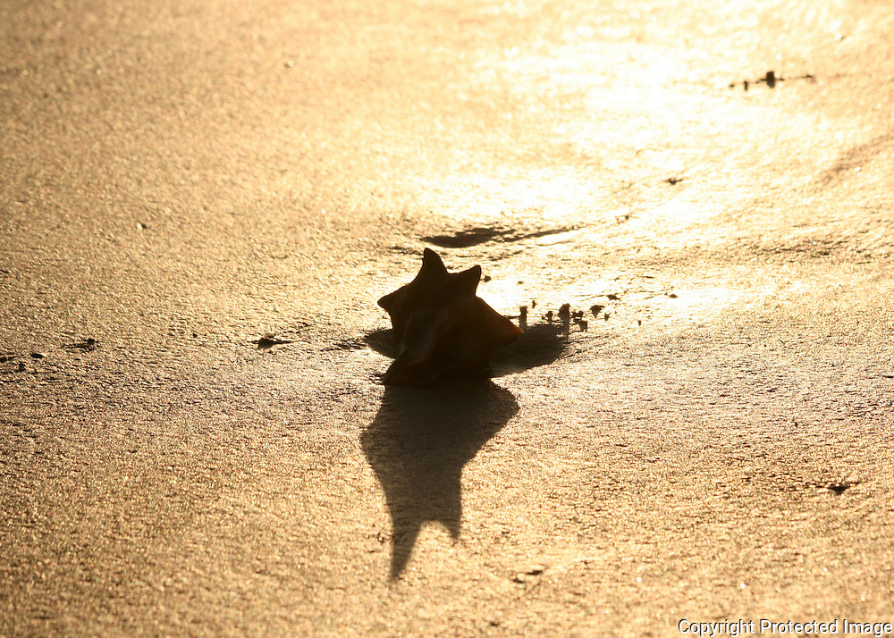 Beached conch with star shadow