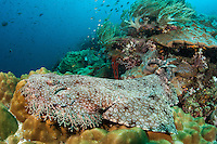 A Tasseled Wobbegong awaits unsuspecting prey.<br /> <br /> Shot in Indonesia