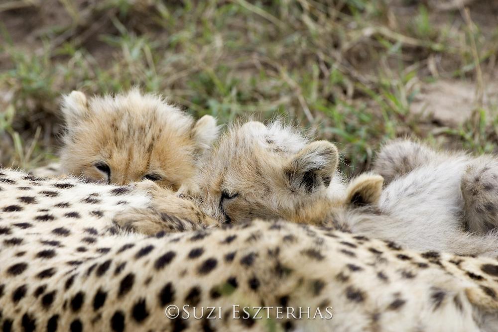 Cheetah<br /> Acinonyx jubatus<br /> 8 week old cub(s) suckling<br /> Maasai Mara Reserve, Kenya