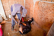 30 OCTOBER 2010 - PHOENIX, AZ: GUMAA BOSSN, who came to the US as refugee from Sudan, ties up a goat before it was butchered at the Goat Meat Store, owned by Ibrahim Swara-Dahab, in Phoenix, AZ. Swara-Dahab came to the United States from Somalia in 1998. He has built a thriving business as a Halal butcher and provides freshly butchered goats and sheep killed following the precepts of Muslim tradition. His business not only caters to Muslims in the Phoenix area but also to refugees and immigrants from Africa and Asia. His small butcher shop is on the Gila River Indian Reservation, about 100 yards from the Phoenix city limits and doesn't have either running water or electricity.    Photo by Jack Kurtz