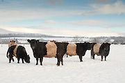 Beltied Galloway Cattle in the Snow