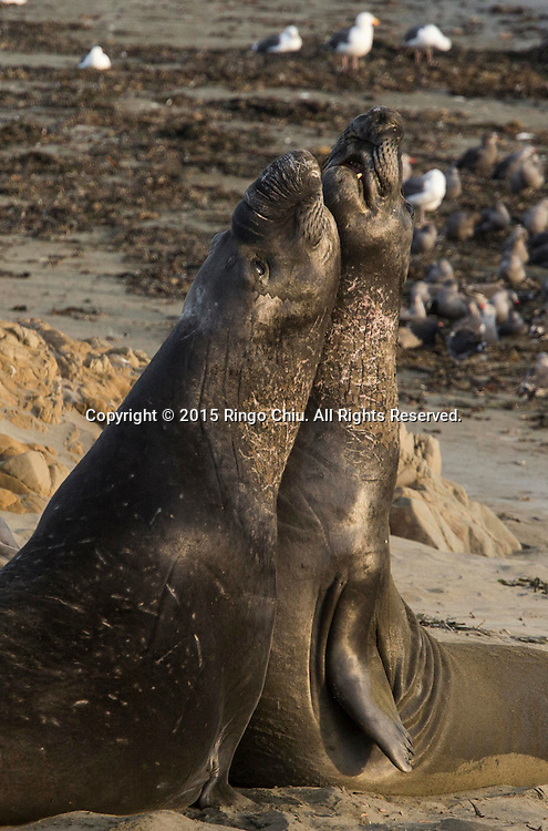 Elephant Seals rest on a beach at Piedras Blancas near San Simeon California Coast in San Simeon, California, the United States, Sunday, August. 16, 2015. In 1990, just under two dozen elephant seals were seen on the beach just south of the Piedras Blancas lighthouse. Then their migration pattern began to extend decisively. The next spring, more than 400 seals were counted. After that, the population continued to grow every year. Now about 17,000 elephant seals call this beach their home. While seals can usually be seen at the beach all year long, the best times to visit are during late January, April and October.Photo by Ringo Chiu/PHOTOFORMULA.com)