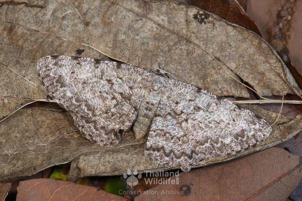 Hypomecis cineracea (Geometridae) moth, showing its critic nature through its use of camouflage. Pang Sida National Park, Thailand.