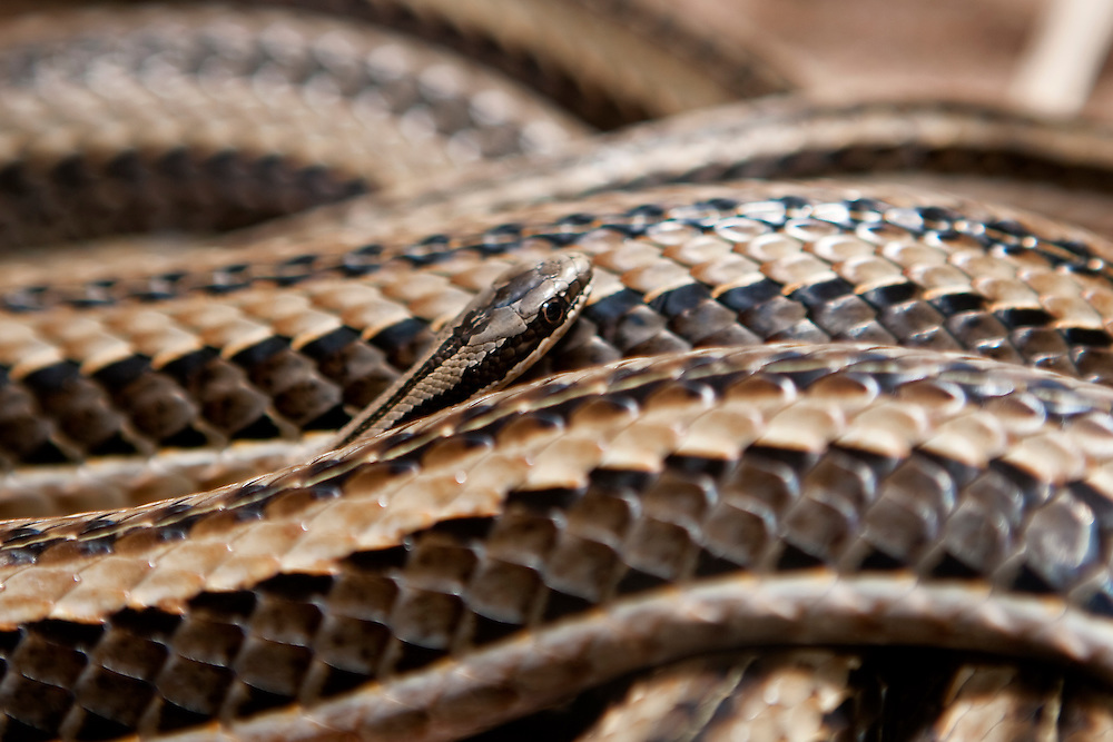 (Lamprophis lineatus) A Newly Hatched Striped House Snake Peaks Out From the Coils of an Older Snake