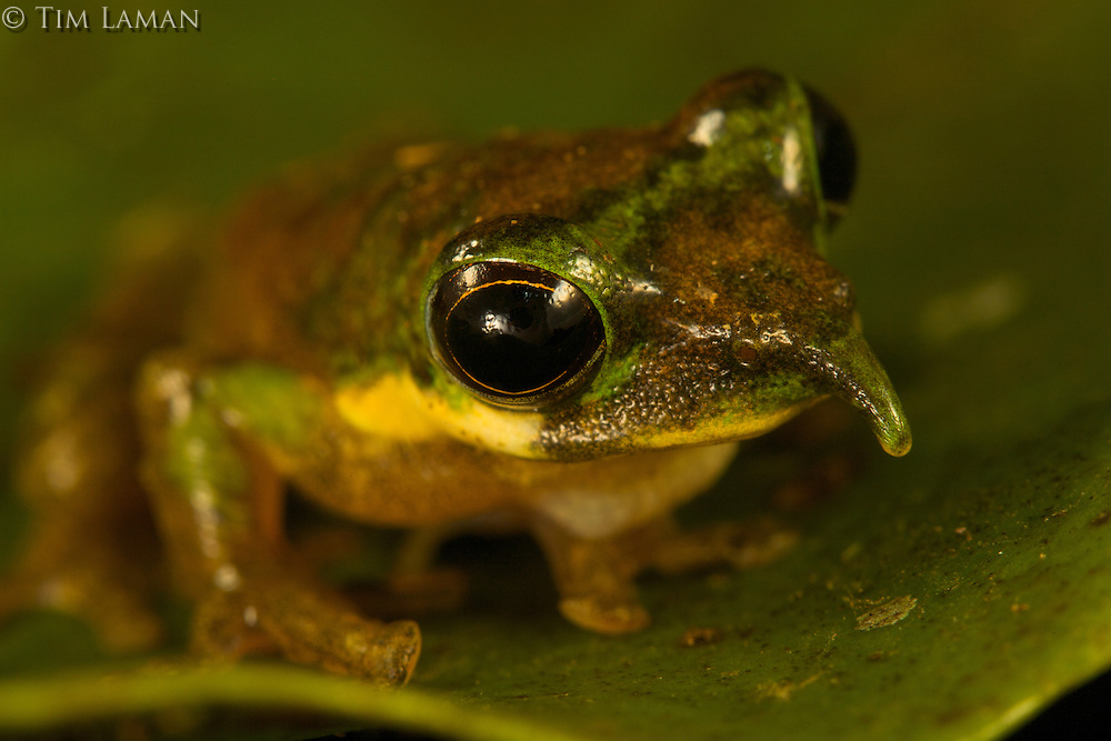 Long-nosed Tree Frog (Litoria sp nov).  New species discovered by Paul Oliver at 1200 m elevation in the Foja Mountains.