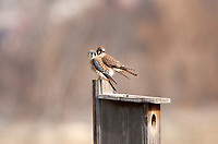 A pair of American kestrel stands on the nesting box they have chosen for the spring nesting season.