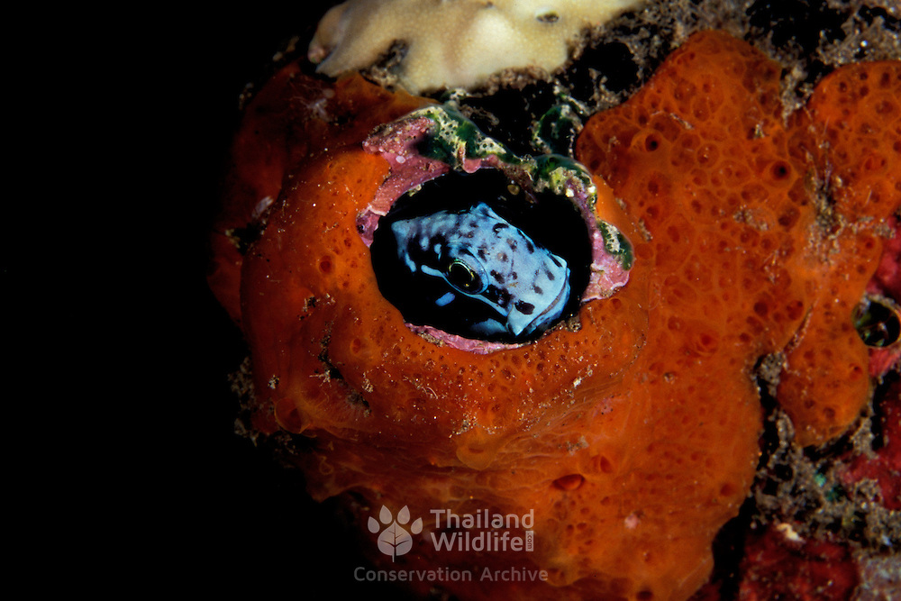 Black Comb-toothed Blenny, Ecsenius namiyei, hiding in a coral home in Dumaguette, Southern Philippines.