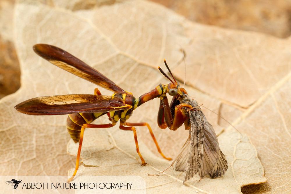 Wasp Mantidfly (Climaciella brunnea)<br /> TEXAS: Bastrop County<br /> McKinney Roughs Nature Park; Cedar Creek<br /> 13-May-2016<br /> J.C. Abbott #2813
