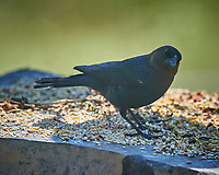 Male Brown-headed Cowbird feeding. Image taken with a Nikon D5 camera and 600 mm f/4 VR lens (ISO 320, 600 mm, f/5.6, 1/1250 sec).