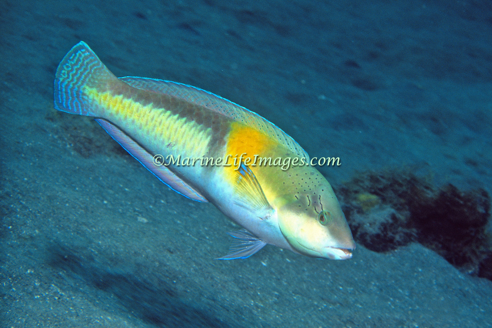 Yellowhead Wrasse consatantly swim about reefs in Tropical West Pacific; picture taken St. Lucia.