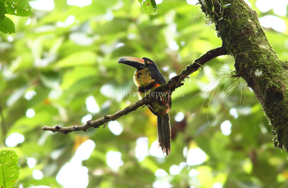 Collared Aracari (Pteroglossus torquatus) in rainforest, La Selva Biological Station, Costa Rica. <br />