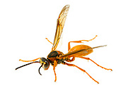 Red Wasp (Polistes carolina) male<br /> United States: Alabama: Tuscaloosa Co.<br /> Tulip Tree Springs off Echola Rd.; Elrod<br /> 4-Oct-2017<br /> J.C. Abbott #2998
