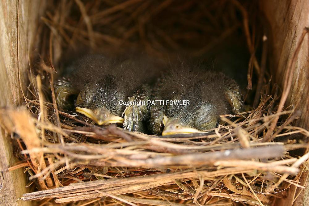 Bluebird juveniles in nest box