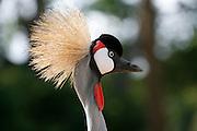 Crowned Crane. Uganda's national bird. Uganda. Africa.