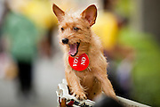 "22 JUNE 2011 - BANGKOK, THAILAND: A Thai dog with a vote ""no"" button on its neck at a PAD rally in Bangkok on Wednesday, June 22. The PAD (People's Alliance for Democracy) or Yellow Shirts, as they are popularly called, has called for a ""No"" vote in Thailand's national election, scheduled for July 3. PAD leadership hopes the no vote will negate the vote of Yingluck Shinawatra, leader of the Pheua Thai party. Yingluck is the youngest sister of exiled former Prime Minister Thaksin Shinawatra, deposed by a military coup in 2006. Yingluck is currently leading in opinion polls, running well ahead of incumbent Prime Minister Abhisit Vejjajiva, head of the Democrat party, which in one form or another has ruled Thailand for most of the last 60 years.     Photo by Jack Kurtz"