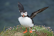 An Atlantic puffin spreads its wings atop the seaside cliffs of Staffa island, Scotland.