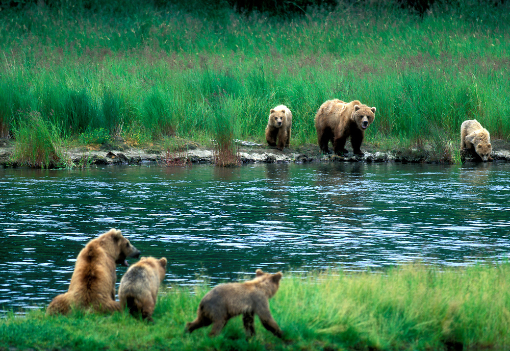 USA, Alaska, Katmai National Park, Grizzly Bear sows and cubs (Ursus arctos) approach across Brooks River