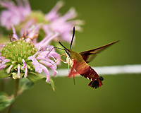 Hummingbird Clearwing Moth (Hemaris thysbe). Image taken with a Nikon D4 camera and 200-500 mm f/5.6 VR lens
