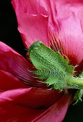 Papaver orientale 'Watermelon' - Oriental poppy