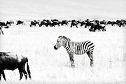 Because of relatively poor eyesight, wildebeests (gnus) often commingle with zebras to take advantage of the zebras' visual acuity, while the zebras benefit from the larger herd as protection from predators. Last November, there was a story from a Ngorongoro Crater park ranger of a male zebra driving away a hyena that was chasing a wildebeest calf, while the wildebeest looked or ran the other way. Fact: zebras are black with white stripes, confirmed through embryonic analysis.