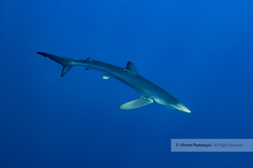 """The blue shark (Prionace glauca) named also blue skin is a pelagic shark, the only species of Prionace genre. The skin is bluish on the top, the stomach is white. The snout is long and disentangled. He can reach 3,00 to 3,50 meters of length for 180 kg weight and a longevity of about fifteen years. Present in all moderated and tropical oceans, he evolves between 400 meters deep and the surface. He is a big migrant which feeds on fishes, squids, cuttlefishes and the other sharks. His mode of reproduction is Viviparous animal, hundred youngs are born formed by a size of 40 cm in term of one year gestation. The young people reach the sexual maturity at about 4 or 5 years. He is a victim of drift nets, sports fishing, commercial fishing and shark finning. He is classified """"Near threatened"""" by the red list of the UICN."""