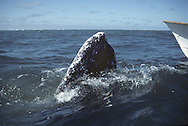 California Gray Whale Eschrichtius robustus Length to 15m Massive baleen whale, with greyish skin, the head usually covered with barnacles and other outgrowths (callosities). Entire population breeds in lagoons off west coast of Baja California, Mexico, and moves north in summer to feed in Arctic.