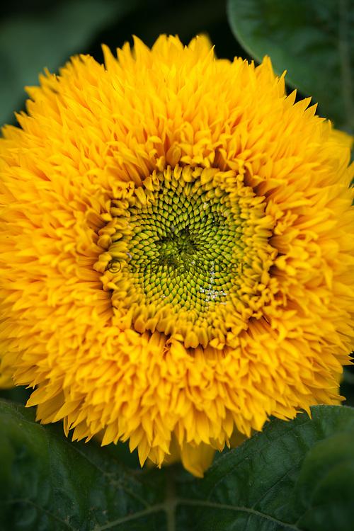 Helianthus annuus 'Teddy Bear' - sunflower