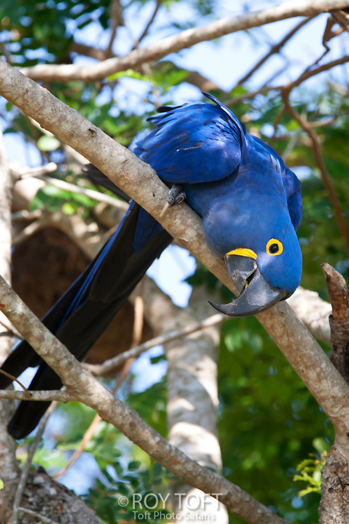 Hyacinthine macaw perched on a tree branch.