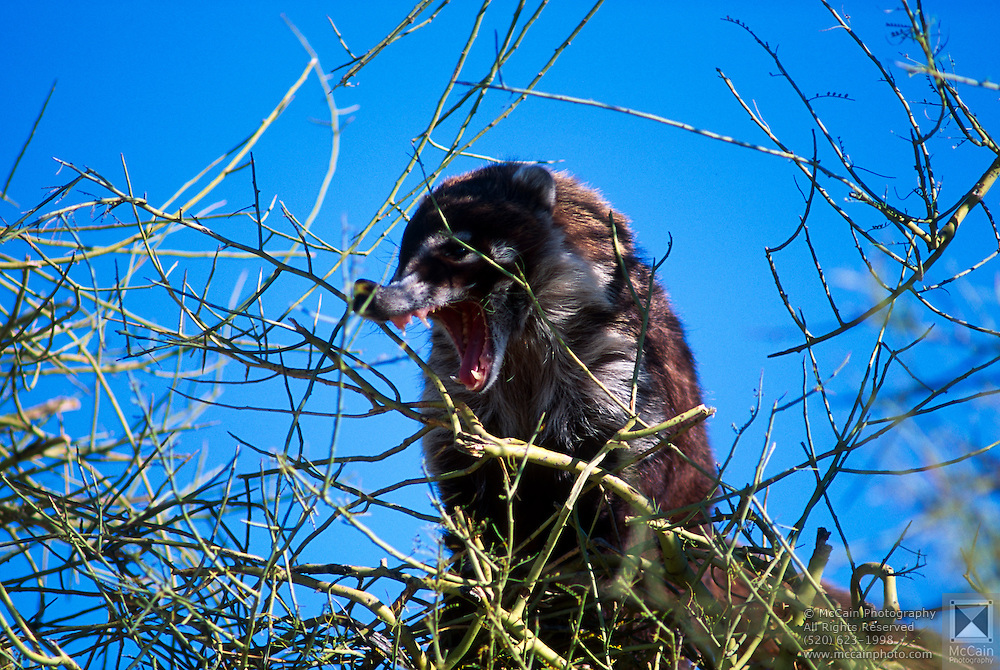 Coatimundi (Nasua narica) sniffing Palo Verde tree, Arizona-Sonora Desert Museum, Tucson, Arizona...McCain Photography Job #02117.Images created April 4, 1994..Rights & Usage:.No rights granted. Subject photograph(s) are copyrighted by ©1994 Edward McCain/McCain Photography. All rights are reserved except those specifically granted by this invoice...McCain Photography.211 S 4th Avenue.Tucson, AZ 85701-2103.(520) 623-1998.mobile: (520) 990-0999.fax: (520) 623-1190.http://www.mccainphoto.com.edward@mccainphoto.com
