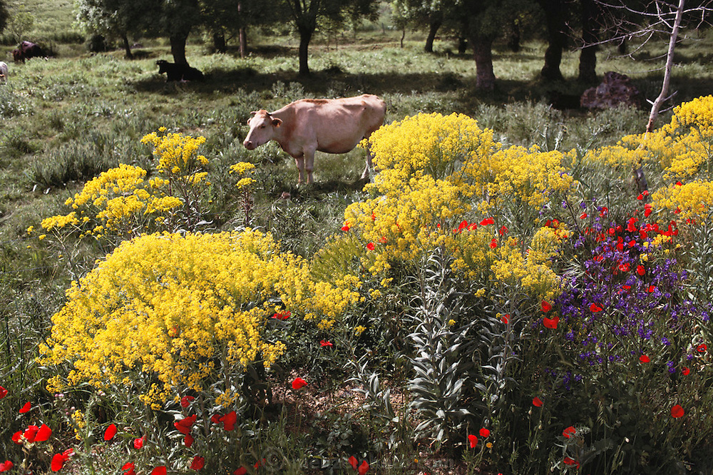 Cattle in pasture with flowers near Segovia, Spain.