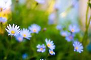 flowering garden. Blooming blue Gerbera flowers