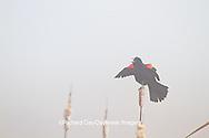 01603-02616 Red-winged Blackbird (Agelaius phoeniceus) male singing/displaying in fog near wetland Prairie Ridge State Natural Area Jasper Co. IL