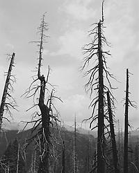 Yosemite National Park  burnt pine trees
