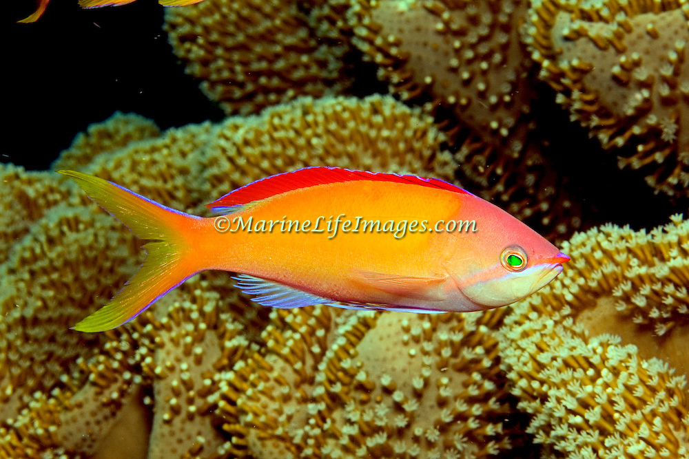 Redfin Anthias inhabit reefs often along the upper edge of steep slopes. Picture taken Fiji.