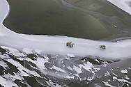 Polar Bear ( Ursus maritimus ) in frozen Hudson Bay Canada   winter , tundra , arctic , ice ,  marine mammal , snow  , aerial , mother &amp; calf @ Kike Calvo - V&amp;W<br />