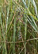 Wasp Spider - Argiope bruennichi - Female. Now frequent in southern counties of Britain on grassland in brown field sites, heathland, road verges, and coastal grassland.